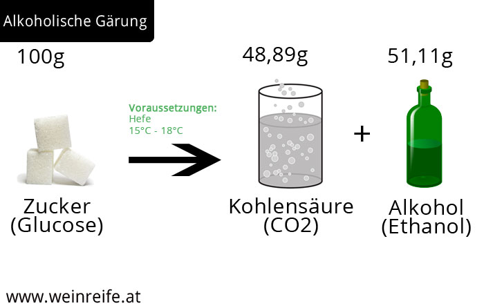 Alkoholische Gärung - Glucose wird mithilfe der Hefe zu Kohlensäure und Alkohol
