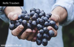 Reife rote Trauben zu Weinherstellung