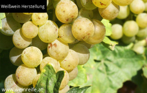 Weißwein Traube und Blatt