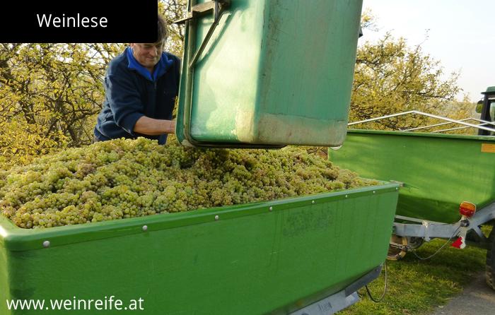 Weißwein Herstellung - Lese der reifen Trauben